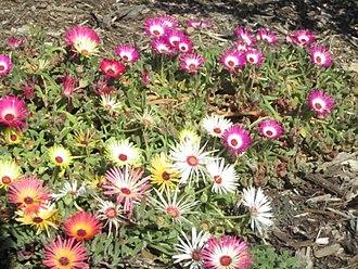 Cleretum bellidiformis - The many colors of Livingstone daisy