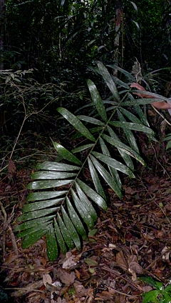 Bactris humilis (Wallace) Burret (8385930932).jpg