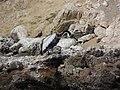 Ballestas Islands, Peru - panoramio (4).jpg