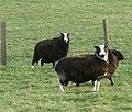 Balwen Welsh Mountain Sheep at Bodfeirig - geograph.org.uk - 1056805.jpg