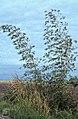 Bamboo, Cornish coast near Montego Bay (38312627051).jpg