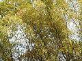 Bambusa vulgaris Schrad. ex J.C.Wendl. - 2013 003.JPG