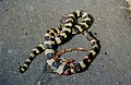 Banded Krait Bungarus fasciatus by Dr. Raju Kasambe DSCN7256 (2) 02.jpg