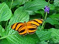 Banded Orange butterfly at Niagara Parks Butterfly Conservatory, 2010 B.jpg