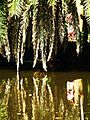 Bangladesh Date Tree on a pond.JPG