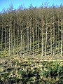 Bank of Trees in Glentrool Forest - geograph.org.uk - 1108415.jpg