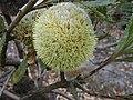 Banksia laevigata laevigata.JPG