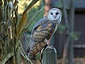 Barn Owl RWD at CRC3.jpg
