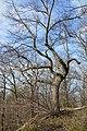 Baum am Einzelnen Bäumchen Gernrode.jpg