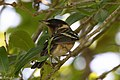 Bay-breasted Warbler (male) Anahuac NWR - Woodlot TX 2018-04-25 11-41-44 (42068863441).jpg