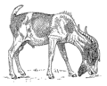 Bearded goat (PSF).png