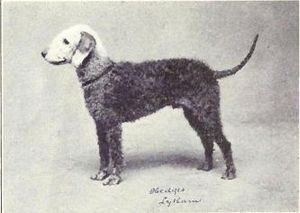 Bedlington Terrier from 1915