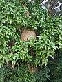 Bee hive in Kaudulla.jpg