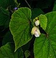 Begonia grandis 'claret jug' 01.jpg