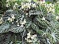 Begonia pustulata-IMG 2404 rbgs11jan.jpg