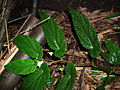 Begonia taiwaniana - 台湾秋海棠 by 石川 Shihchuan - 003.jpg