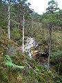 Beinn Eighe Pinus sylvestris 5.jpg