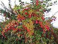Berberis vulgaris .jpg