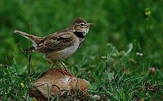 Calandra lark species of bird