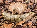 Berkenzwam (Piptoporus betulinus) op afgebroken berkentak in een natuurlijk biotoop 03.jpg