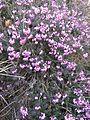 Berne botanic garden Erica carnea.jpg