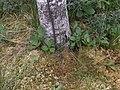 Betula pubescens Stamm.jpg