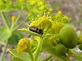 Bichito negro - Dasytinae (Melyridae) (14007556591).jpg