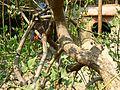 Bidwill's Coral Tree (533121187).jpg