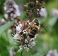 Biene auf pfefferminz.jpg