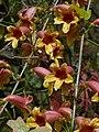 Bignonia capreolata Arkansas.jpg