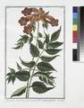 Bigonia Americana, fraxini folio, flore amplo, phoeniceo. (Ash-leaved Trumpet-flower) (NYPL b14444147-1125114).tiff