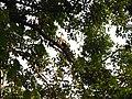 Bird White-throated Brown Hornbill Anorrhinus austeni IMG 9075 10.jpg