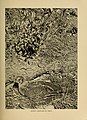 Birds that hunt and are hunted; (1905) (14749913352).jpg