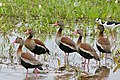 Black-bellied Whistling Ducks (Dendrocygna autumnalis) (29166391741).jpg