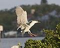 Black-crowned Night-Heron; March 2012.jpg