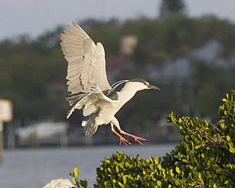 Black-crowned Night-Heron; March 2012.jpg