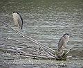 Black-crowned Night-Herons, Rivertown Crossings Mall, Grandville MI, August 8, 2012 (7744042760).jpg