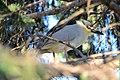 Black-crowned Night-heron (26730376731).jpg