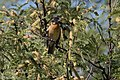 Black-headed Grosbeak (male) San Pedro House Sierra Vista AZ 2017-05-11 07-21-35 (34601587035).jpg