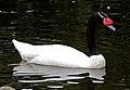 Black-necked Swan (6086606814).jpg