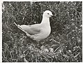 Black Billed Gull at nest. (Larus bulleri) Maori name Tarapunga (6).jpg