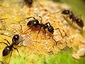Black Garden Ant tending Citrus Mealybug (15876770928).jpg