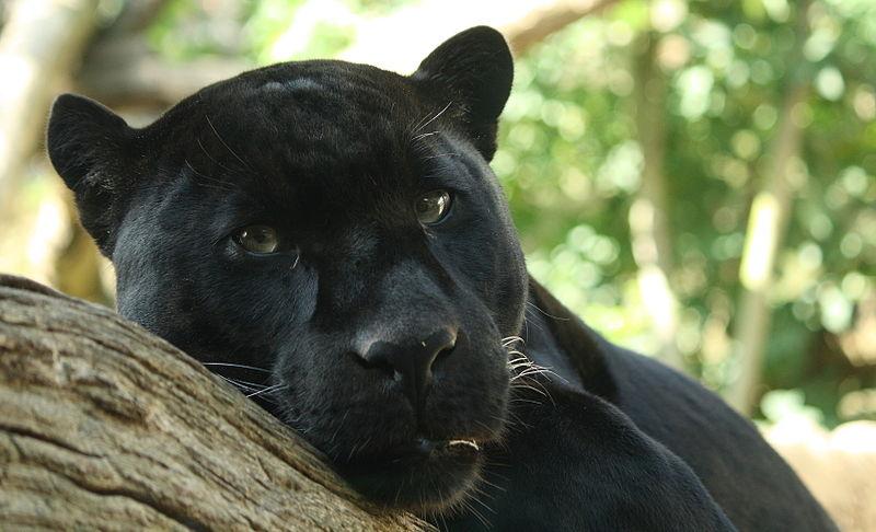 Ficheiro:Black Panther by Bruce McAdam.jpg