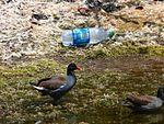 Black Point Wildlife Drive, Merritt Island FL - Flickr - Rusty Clark (236).jpg