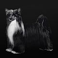 Black Powderpuff Chinese Crested white in tail.jpg