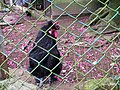 Black chicken 黑雞 - panoramio.jpg