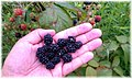 Blackberry Patch on Private Property in Woodstock IL Produces a Delicious Crop - panoramio.jpg