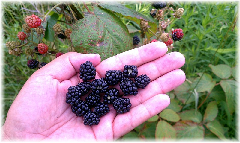 File:Blackberry Patch on Private Property in Woodstock IL Produces a Delicious Crop - panoramio.jpg