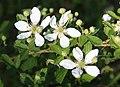 Blackberry Rubus argutus 3 flowers.jpg