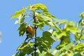 Blackburnian Warbler (7235561744).jpg